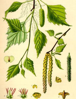 Birke (Blätter)