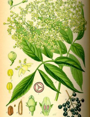 Holunder (Beeren)