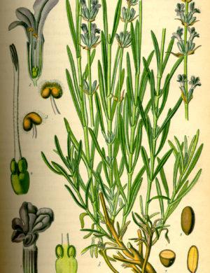 Lavendel (Lavandin, Blüten)