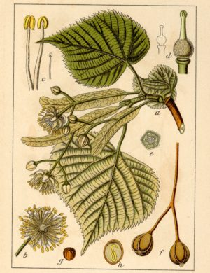 Linde (Blüten)